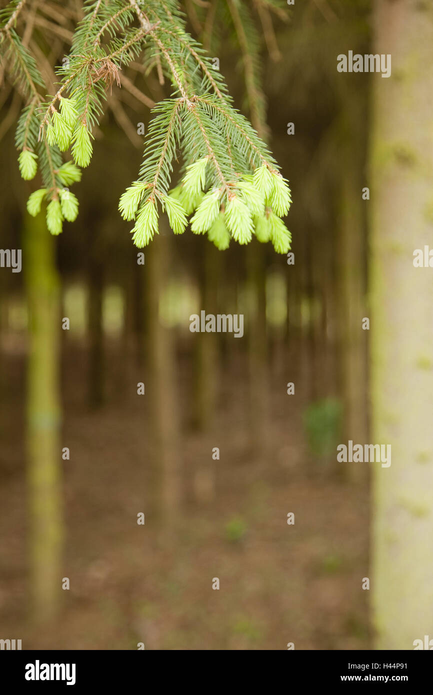Wood, spruce, branch, detail, instincts, young, blur, outside, trees, tree, conifer, growth, trunks, spring, nature, - Stock Image