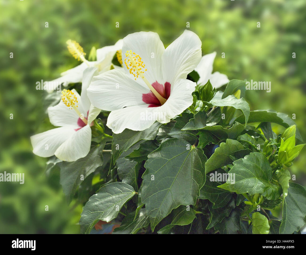 Garden, hibiscus, blossoms, white-red, plants, bloomer, mallow plant, shrub marsh mallow, ornamental plant, flower - Stock Image