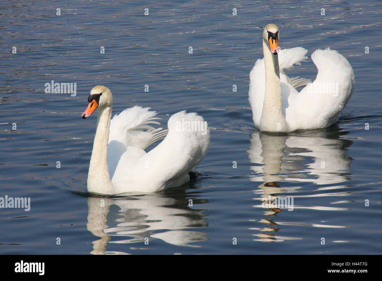 Lake, swans, couples, animals, hump swans, birds, two, swim, couple, in pairs, Poland, nature, Stock Photo