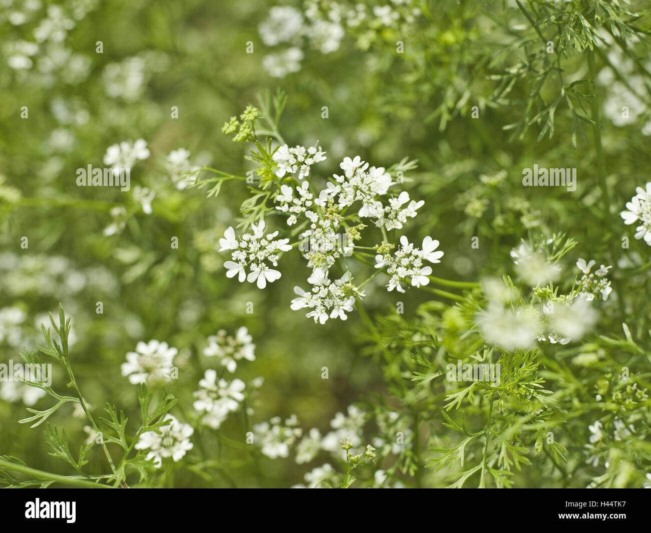 Caraway, Carum carvi, detail, blossoms, white, plant, Doldenblütler, herbs, culinary spice, useful plant, nature Stock Photo