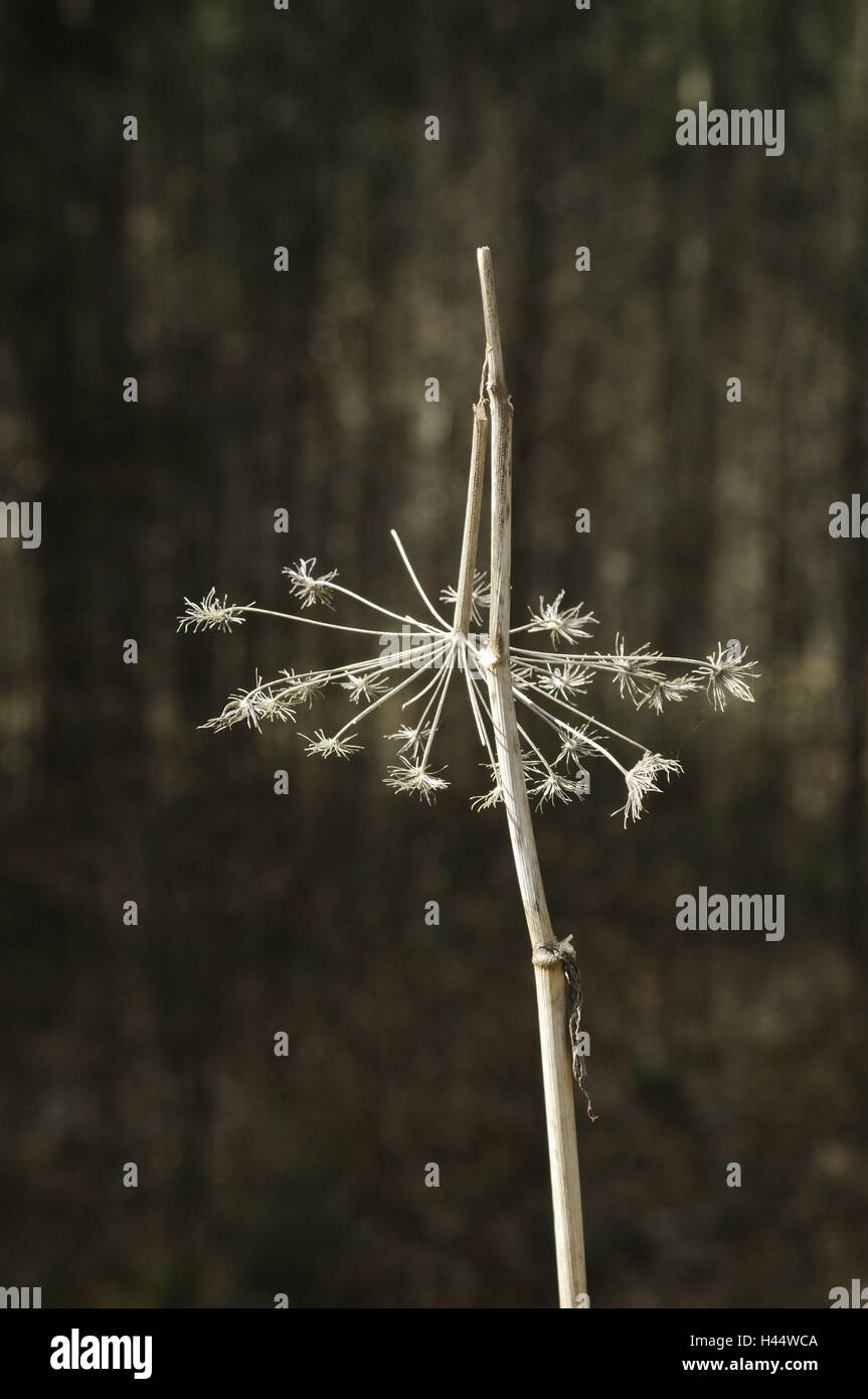 Flower, dry, glumly, spring, colorless, plain, wood, plant, forest plant, dries up, angelica, nature, wilts, wilt, - Stock Image