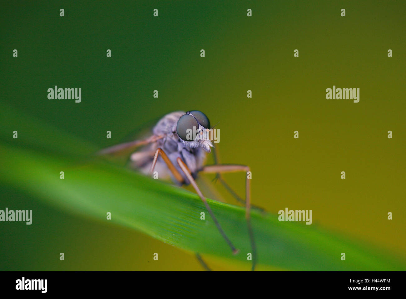 Fly, blade of grass, diptera, Stock Photo