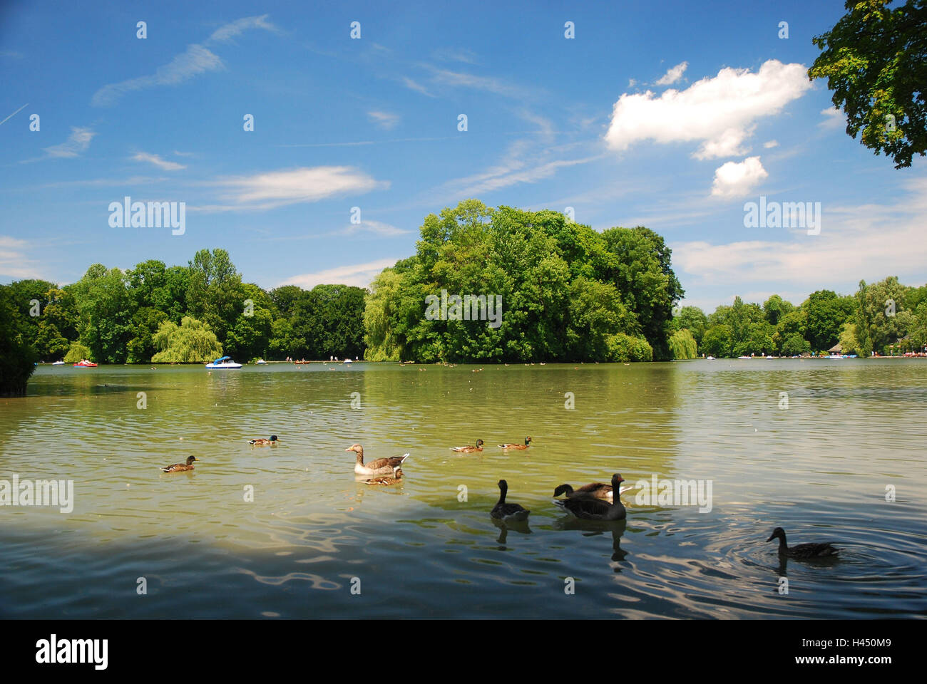 Germany, Bavaria, Munich, English garden, Kleinhesseloher lake, ducks, geese, - Stock Image