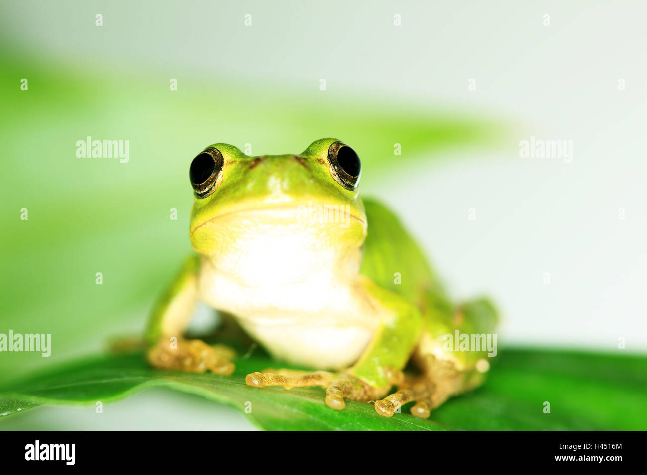 Leaves, tree frog, - Stock Image