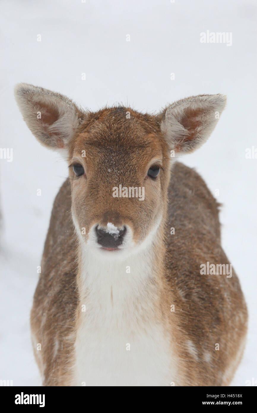Fallow-deer, portrait, vertical format, fallow buck, female, Damwild, hind, mammal, game, animal, wild animal, snow, - Stock Image