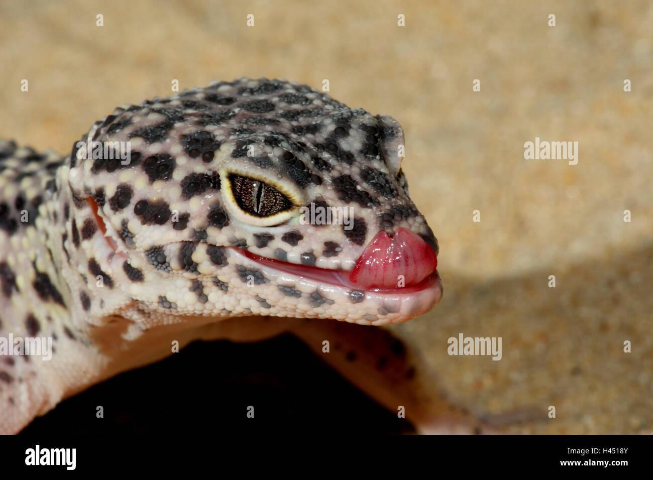 Leopard's gecko, portrait, side view, panther's gecko, gecko, landscape format, reptiles, animal, tongue, - Stock Image