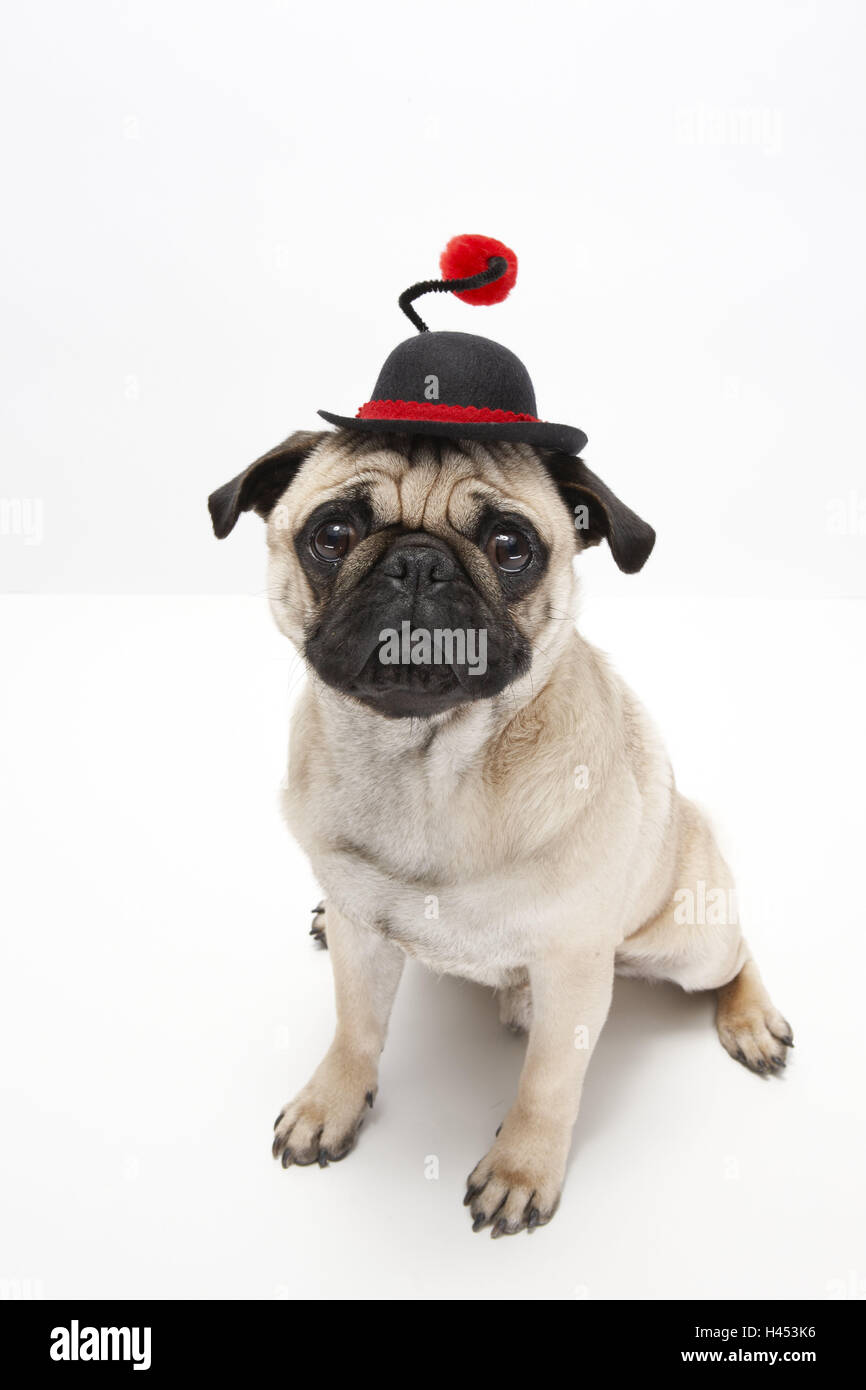 Pug, dressed up, hat, sit, studio, - Stock Image