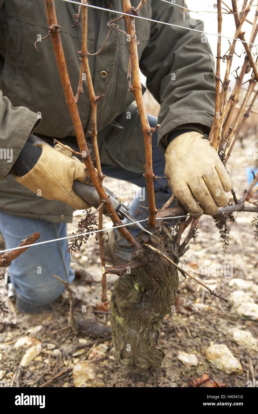 Man, squat, detail, electric scissors, vine, cutting, Sancerre, France, scissors, electrically, winegrower, viticulturist, Stock Photo