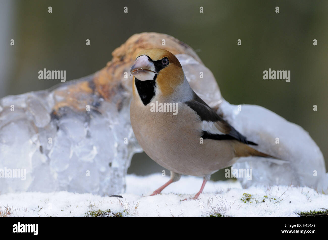Hawfinch, Coccothraustes coccothraustes, - Stock Image