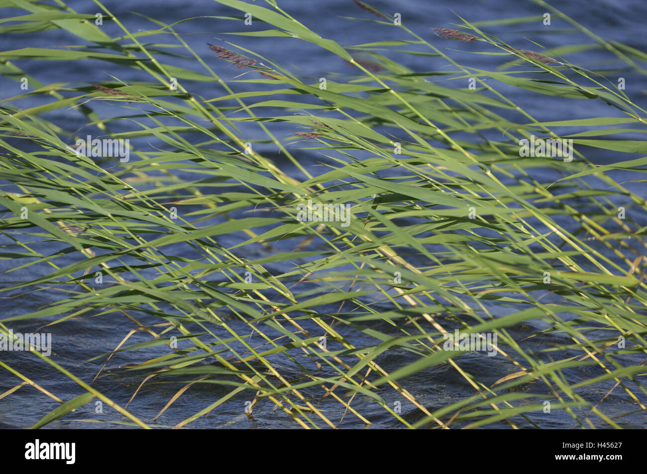 Reed, water, wind, lake, Finland, Rantasalmi, NP Linnansaari, Stock Photo