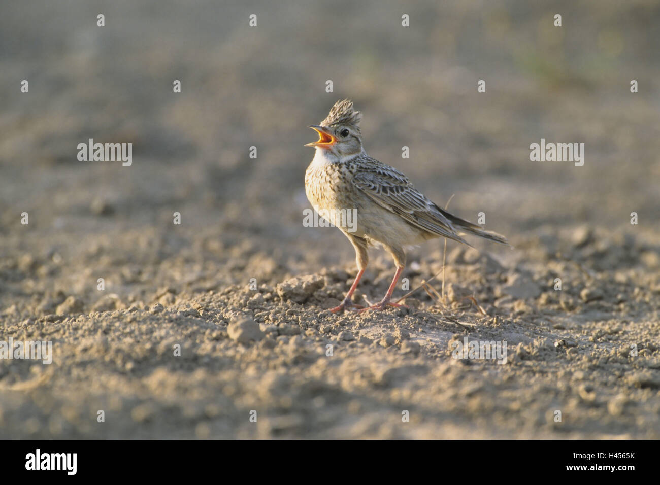 Skylark, Alauda arvensis, ground, singing, - Stock Image