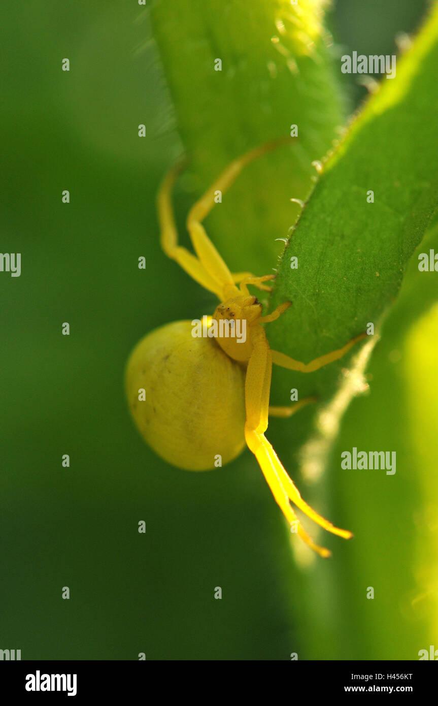 Goldenrod crab spider, yellow, female, - Stock Image