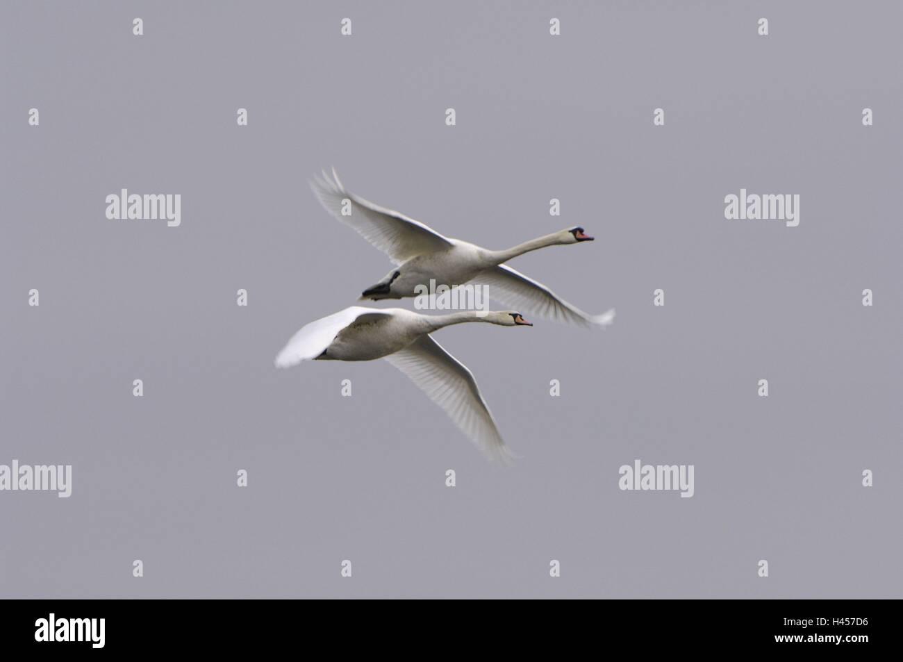 Hump swans, Cygnus olor, flight, - Stock Image