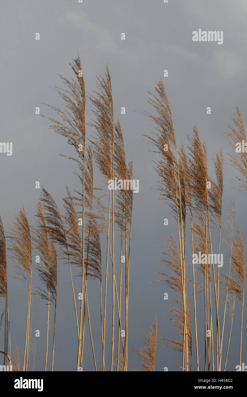 Reed, detail, autumn, reed, lake, plants, Rispen, heavens, grey, cloudies, nature, - Stock Image