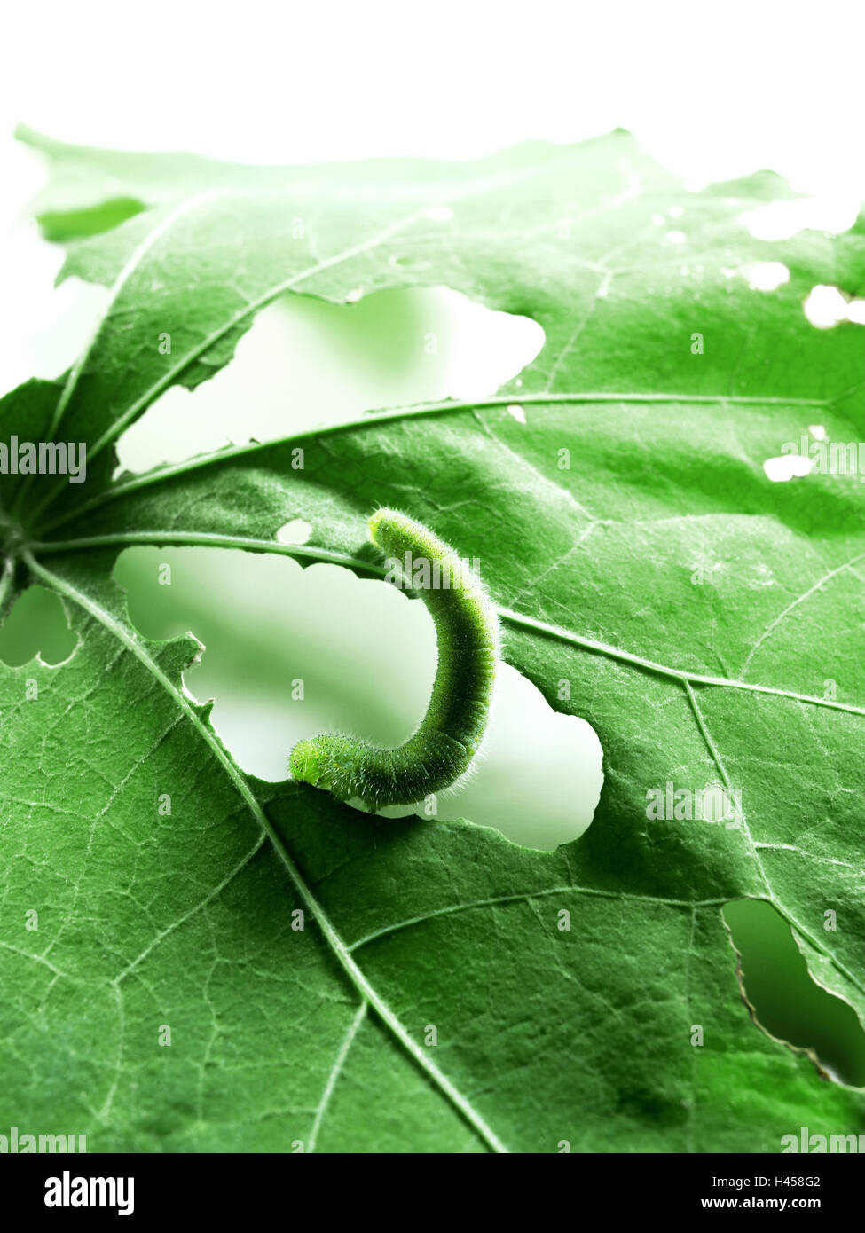 Caterpillar, leaves, green, corroded, eaten out, eat, greedy, insect, hole, metamorphosis, monochrome, course, conversion, - Stock Image