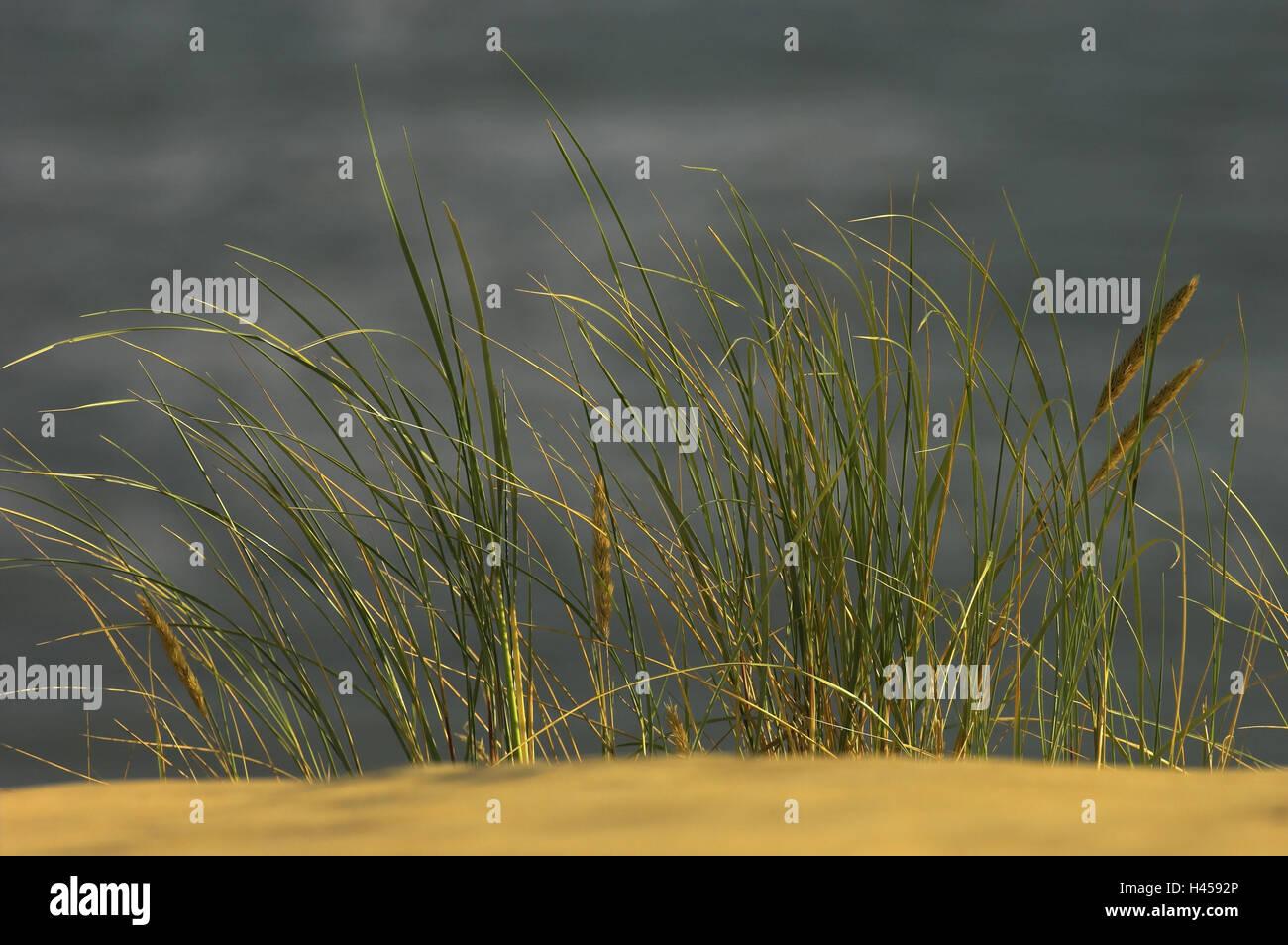 Beach oat, dune, Nida, national park health resort broad bay bar, Lithuania, - Stock Image