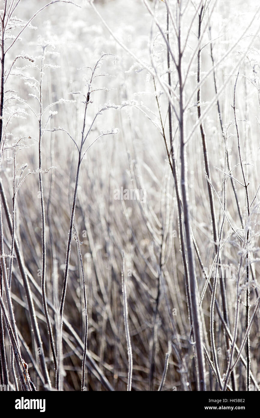 Grass, hoarfrost, sunlight, brenchs, froze, maturity, frost, bald, cold, nature, season, winter, back light, - Stock Image