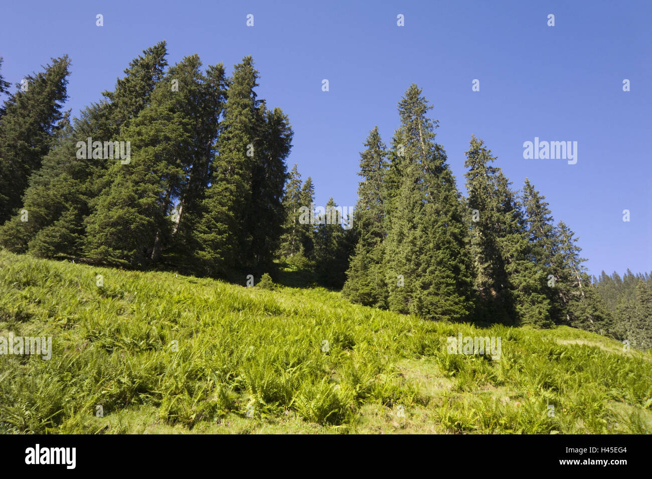 Mountainside, conifers, ferns, - Stock Image