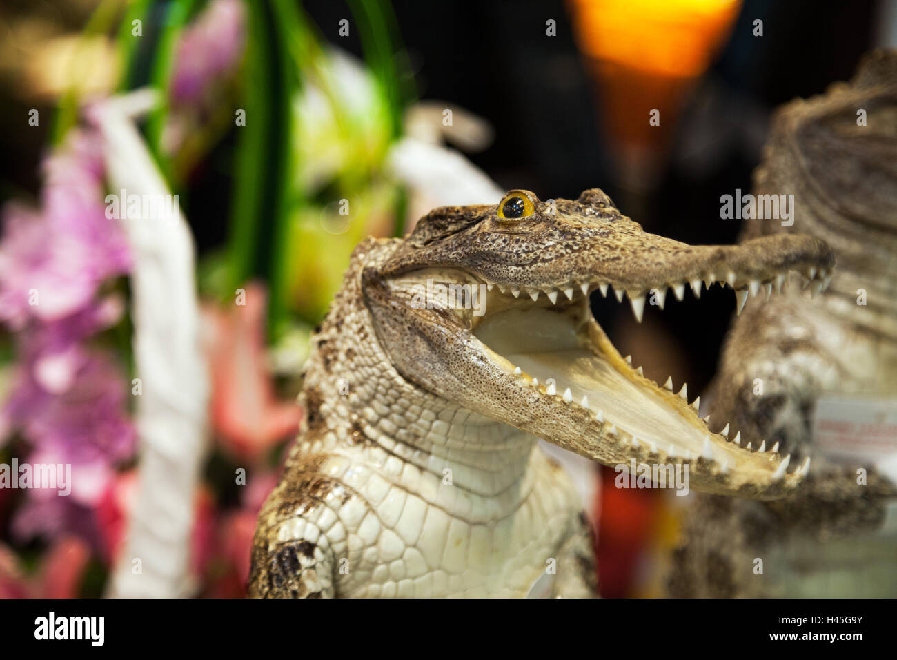 Small cute crocodile laughing with open mouth with lot of teeth. Reptile predator dangerous attack - Stock Image