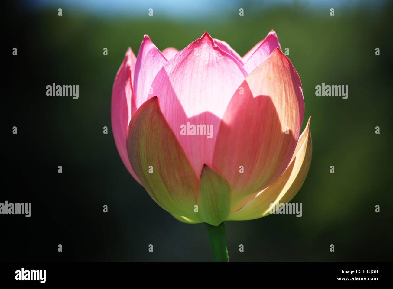 Closed Lotus Flower Stock Photos Closed Lotus Flower Stock Images