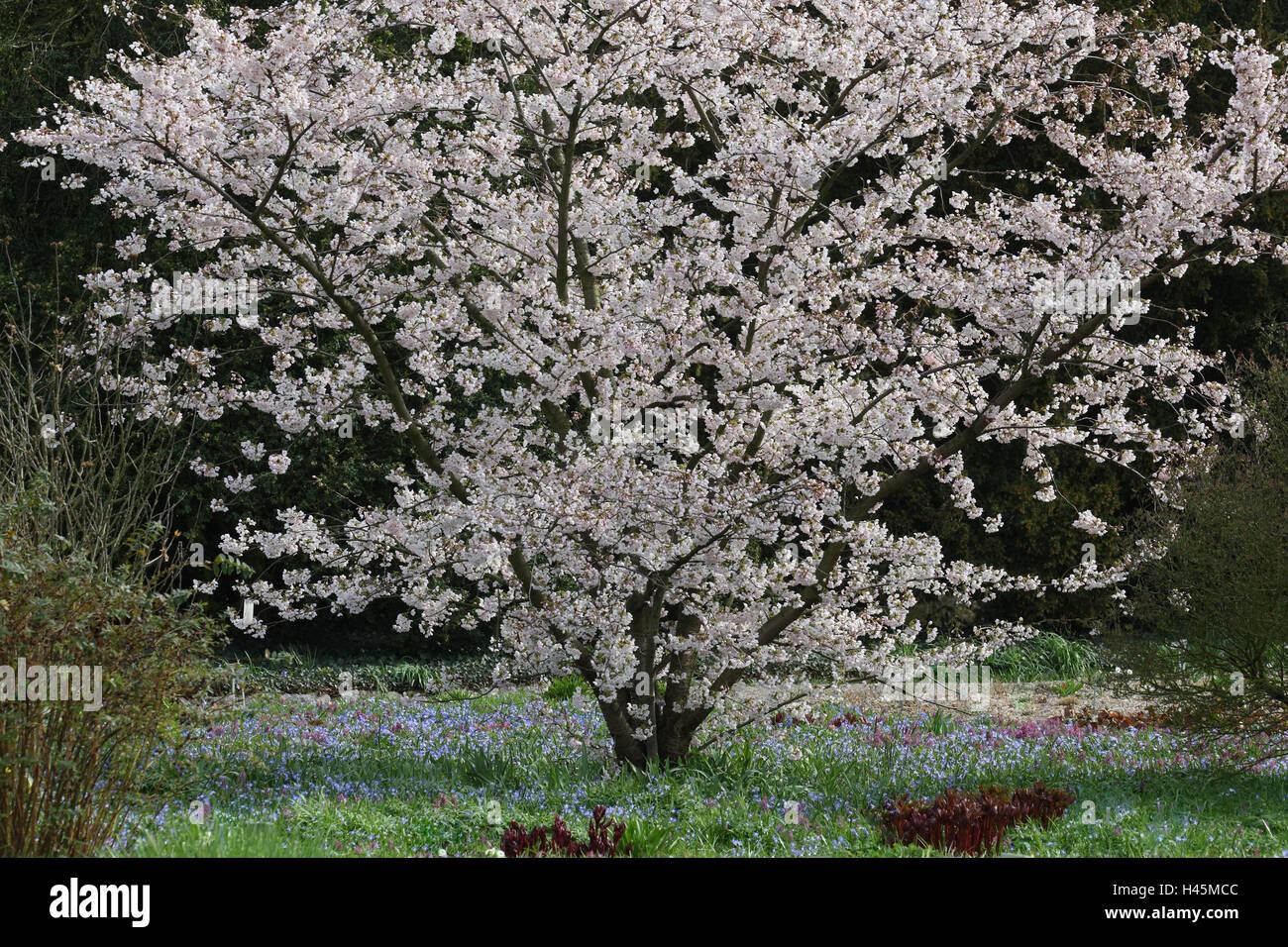 Garden, shrub, Yoshino cherry, blossom, Germany, to ornamental cherry, cherry, Rosaceae, tree, period bloom, spring, - Stock Image