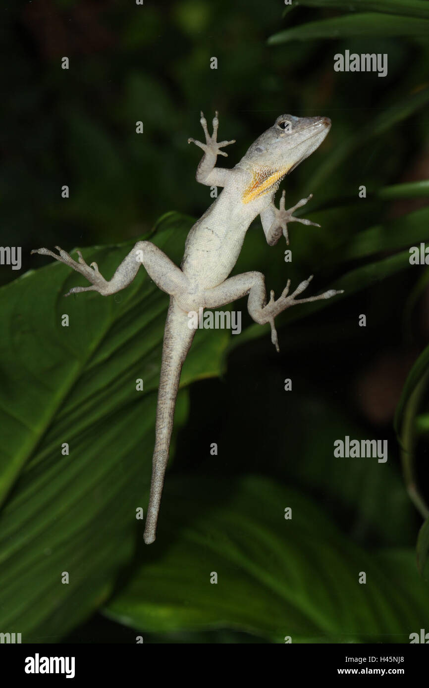 Karibik-Anolis, Anolis roquet, from below, - Stock Image