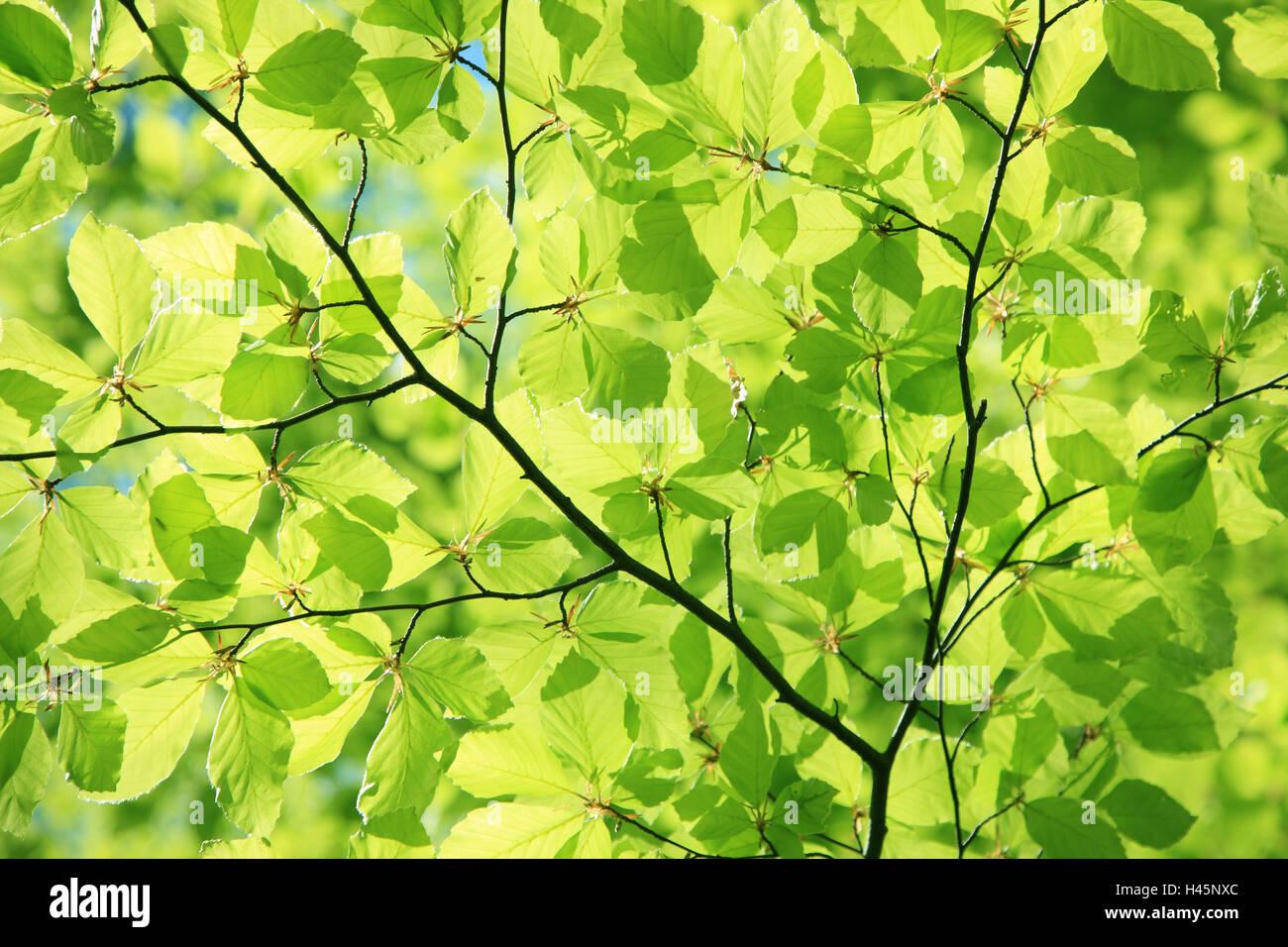 Hornbeam, Carpinus betulus, detail, from below, plant, tree, broad-leaved tree, twigs, branches, leaves, green, - Stock Image
