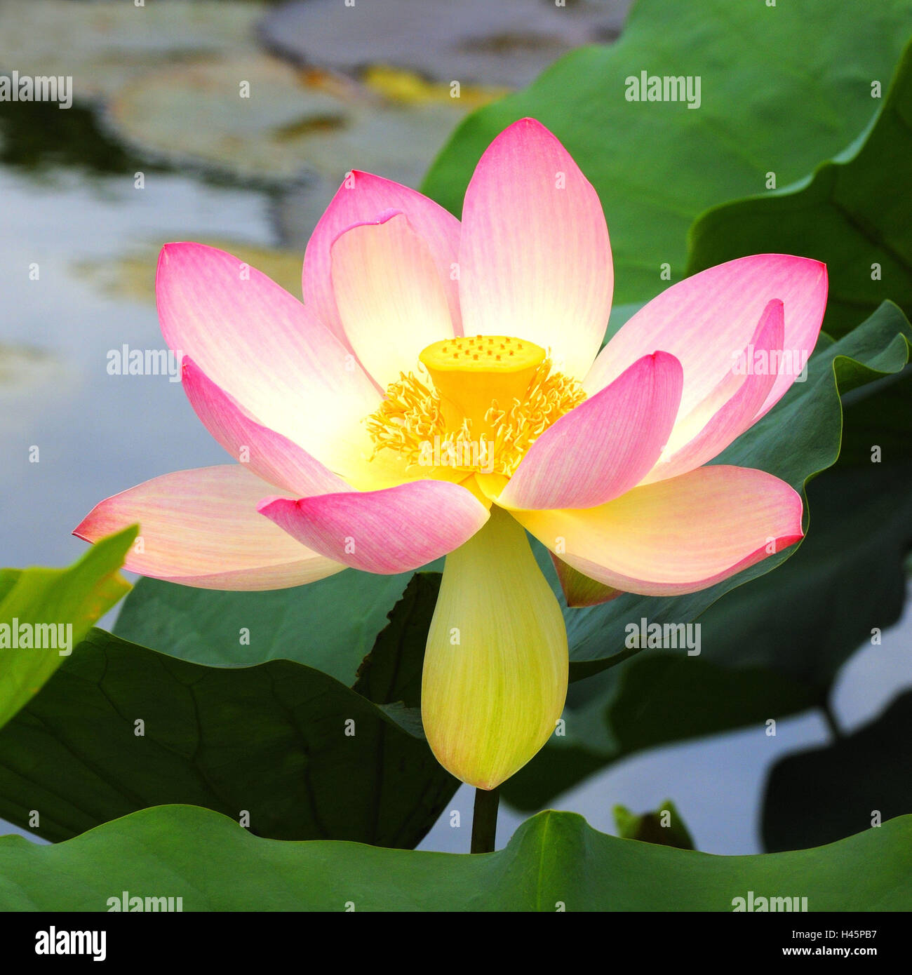 Indian lotus flower leaves stock photos indian lotus flower leaves indian lotus flower nelumbo nucifera stock image mightylinksfo