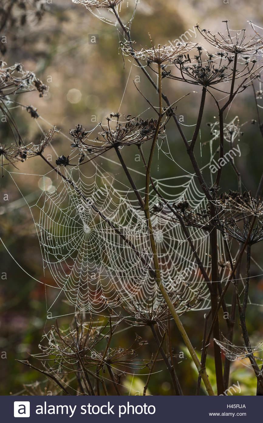 orb web spider's webs - Stock Image