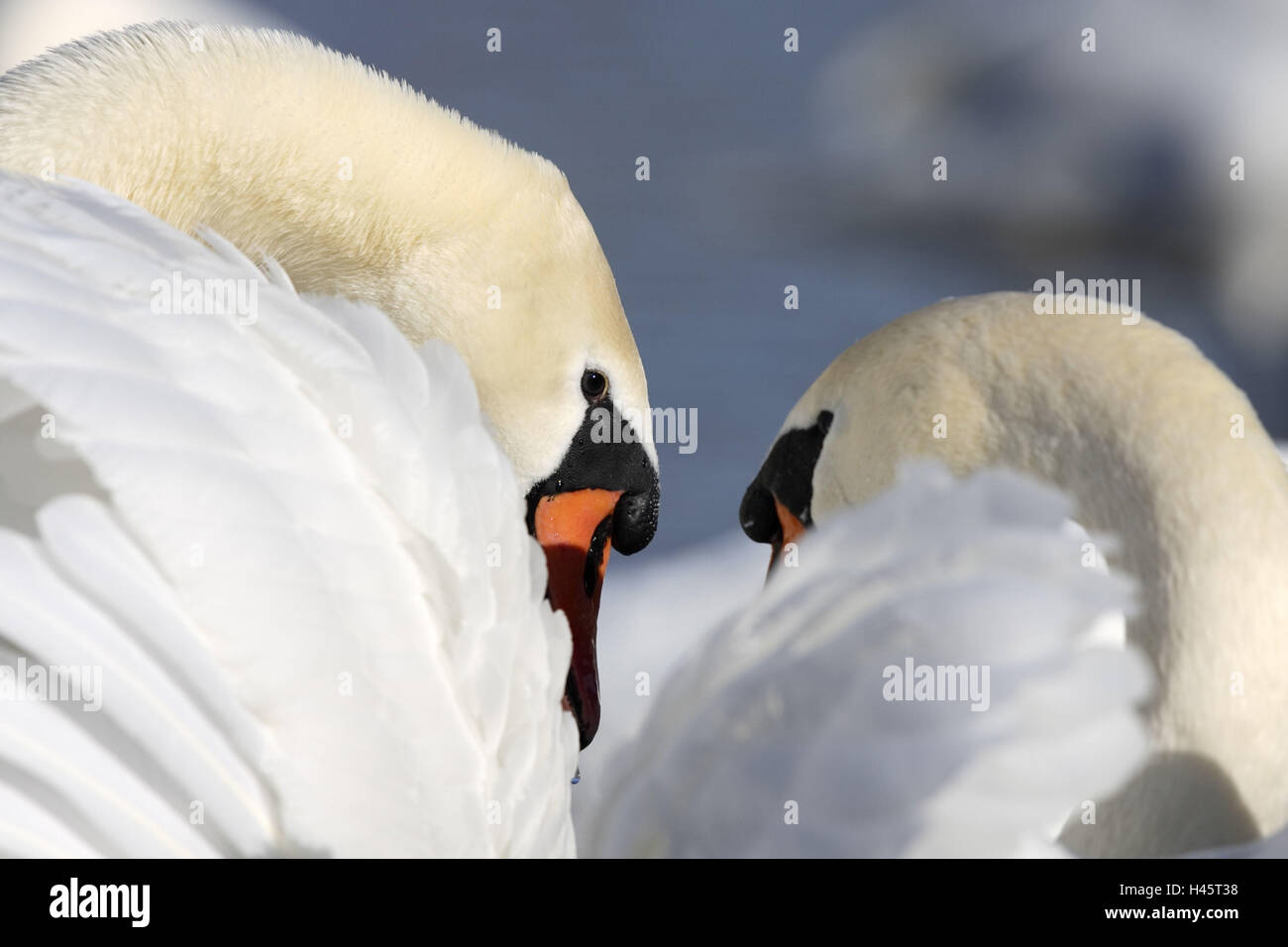 Hump-swans, Cygnus olor, advertise, performs courtship display, - Stock Image
