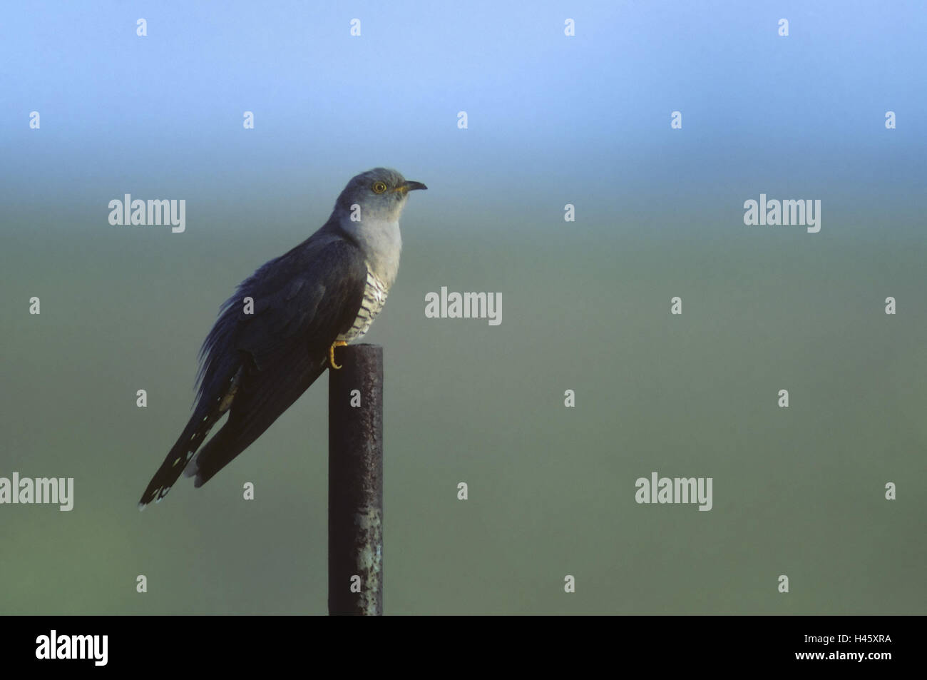 Cuckoo, Cuculus canorus, iron rod, sit, - Stock Image