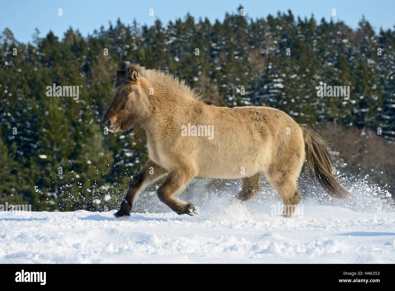 Icelandic horse (dun) galloping in snow - Stock Image