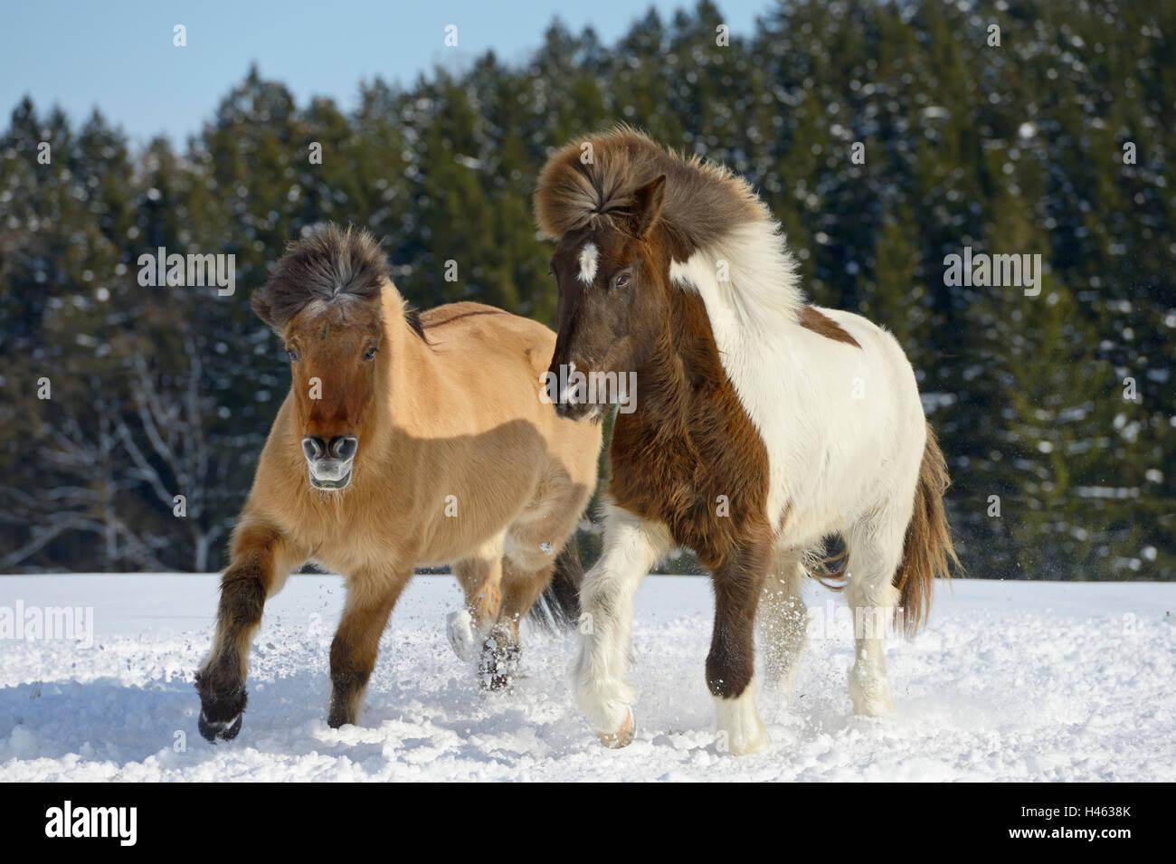 Icelandic horses in snow Stock Photo