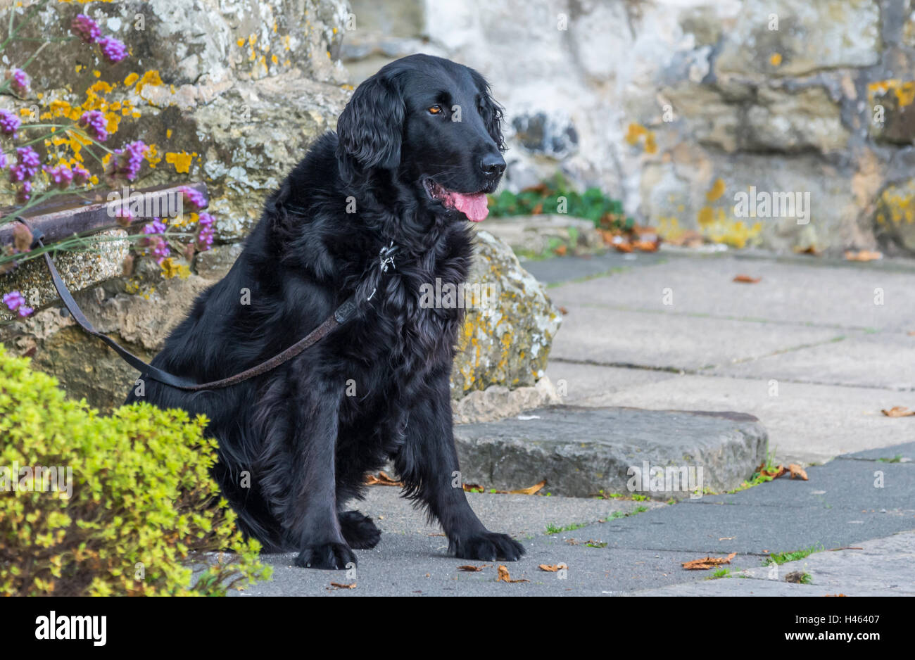 Black Retriever dog tied up sitting on the ground. - Stock Image