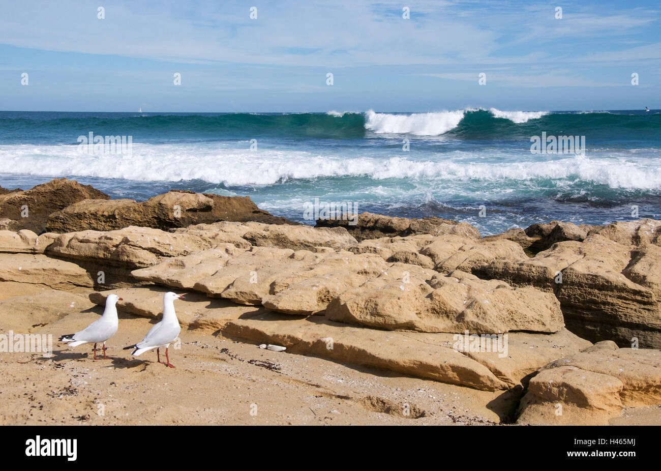 Two sea gulls on the rough limestone coastline at Penguin Island with Indian Ocean waves rolling in Rockingham,Western Stock Photo