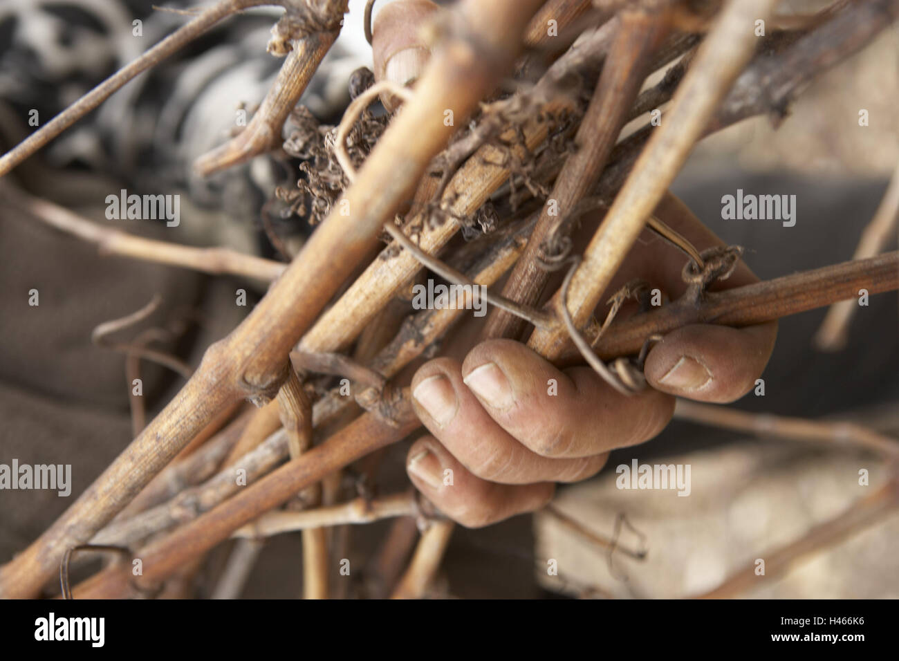 Man, hands, detail, branches, hold, Sancerre, France, winegrower, viticulturist, work, occupation, agriculture, Stock Photo