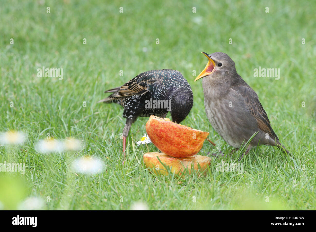 Glaucoma, young bird, feed, beg, - Stock Image