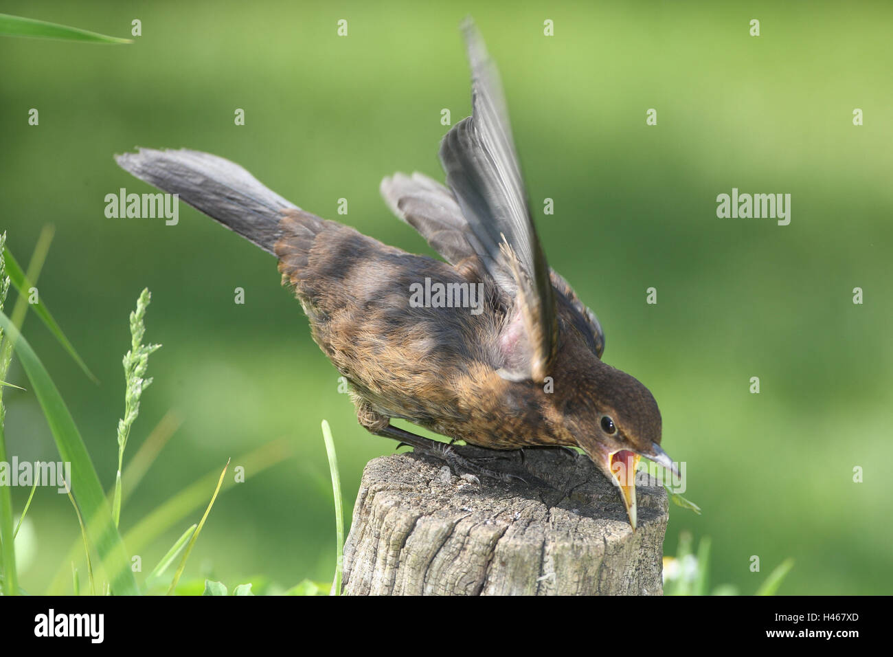 Blackbird, young bird, lining beg, - Stock Image