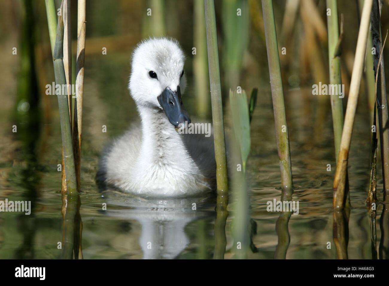 Pond, hump swan, Cygnus olor, fledglings, swim, pool, water, animal baby, animal, bird species, duck's birds, - Stock Image