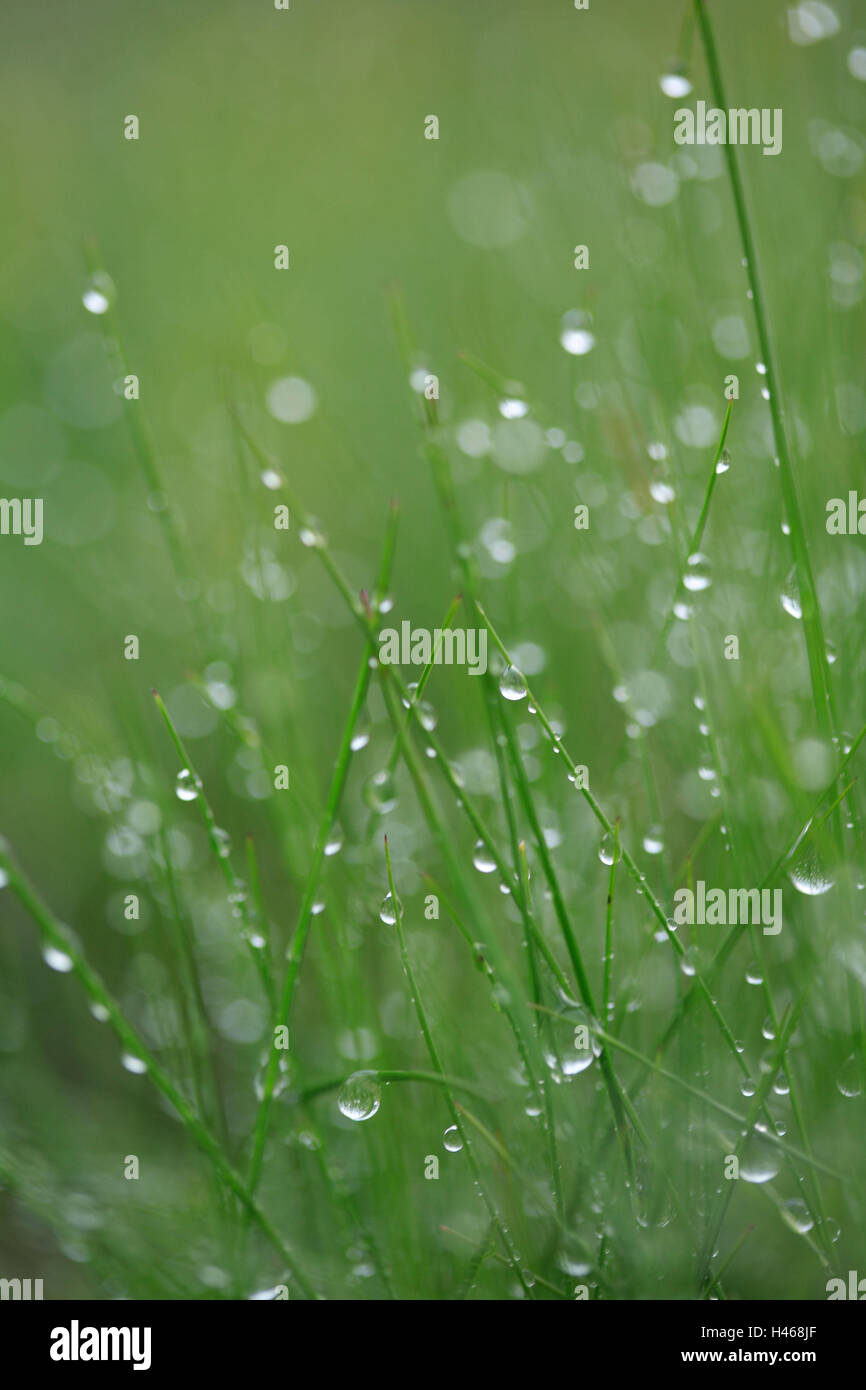 Grass, drops water, nature, meadow, plants, stalks, green, wet, moisture, humidity, damp, freshness, rope, dewdrop, - Stock Image