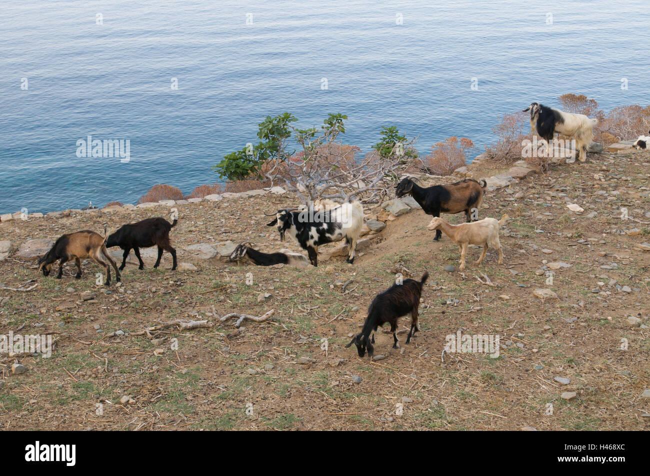 Herd of goats, coast, sea, island Sifnos, the Cyclades, Greece, - Stock Image