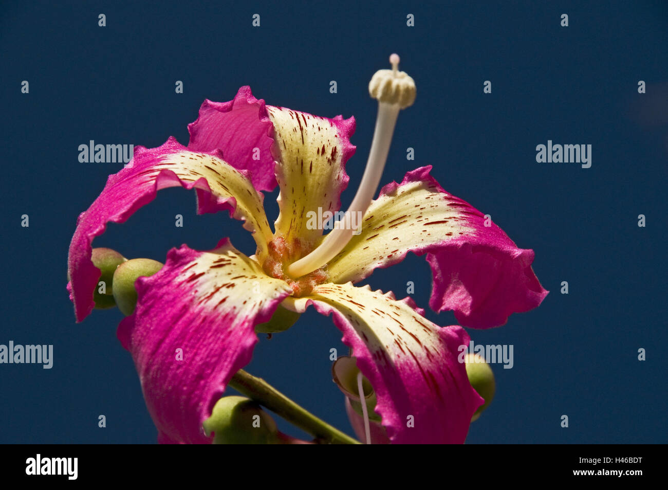 Floss tree, blossom, pink, detail, Stock Photo