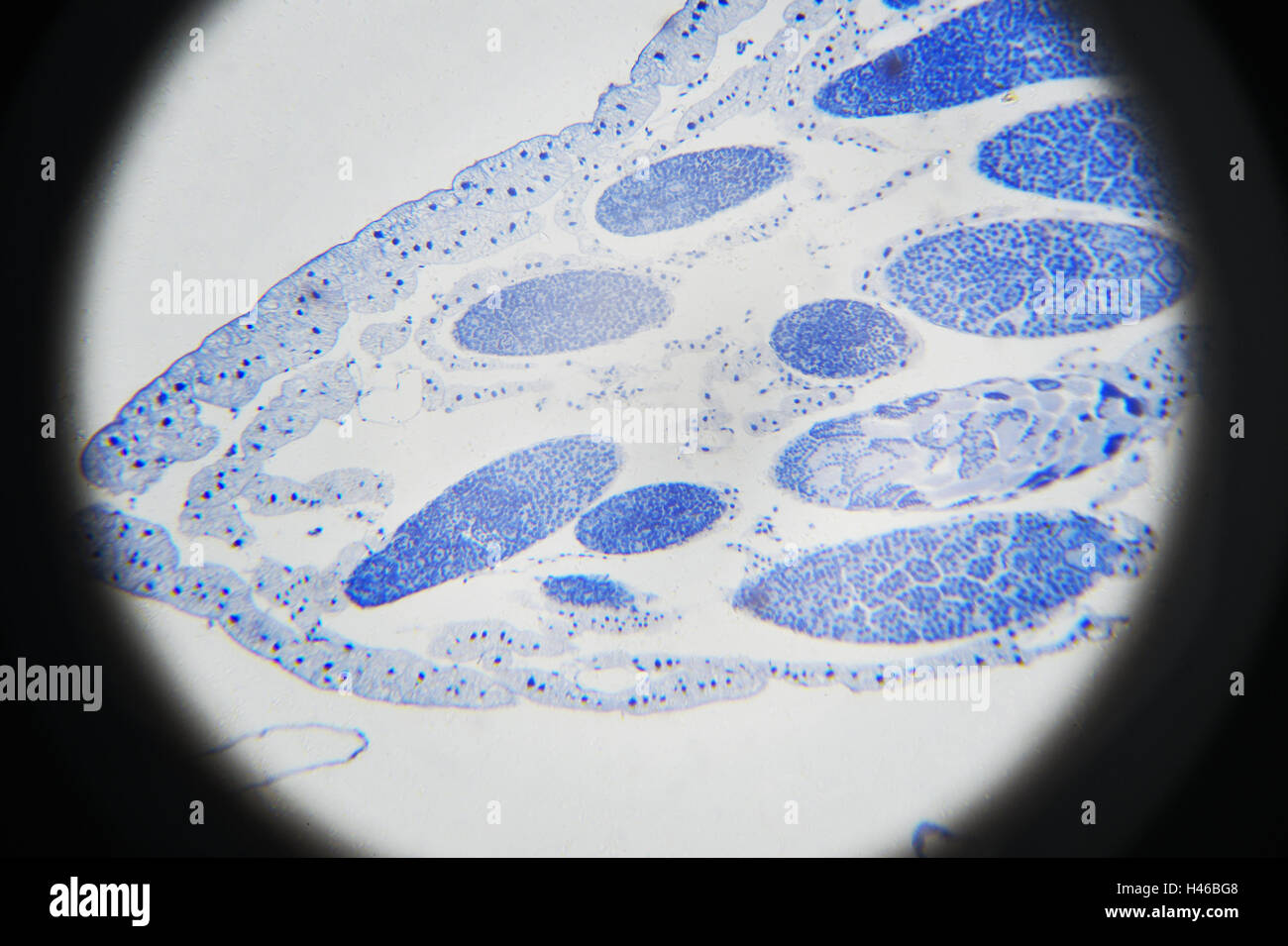 Microscopic photography. Grasshopper meiosis. - Stock Image