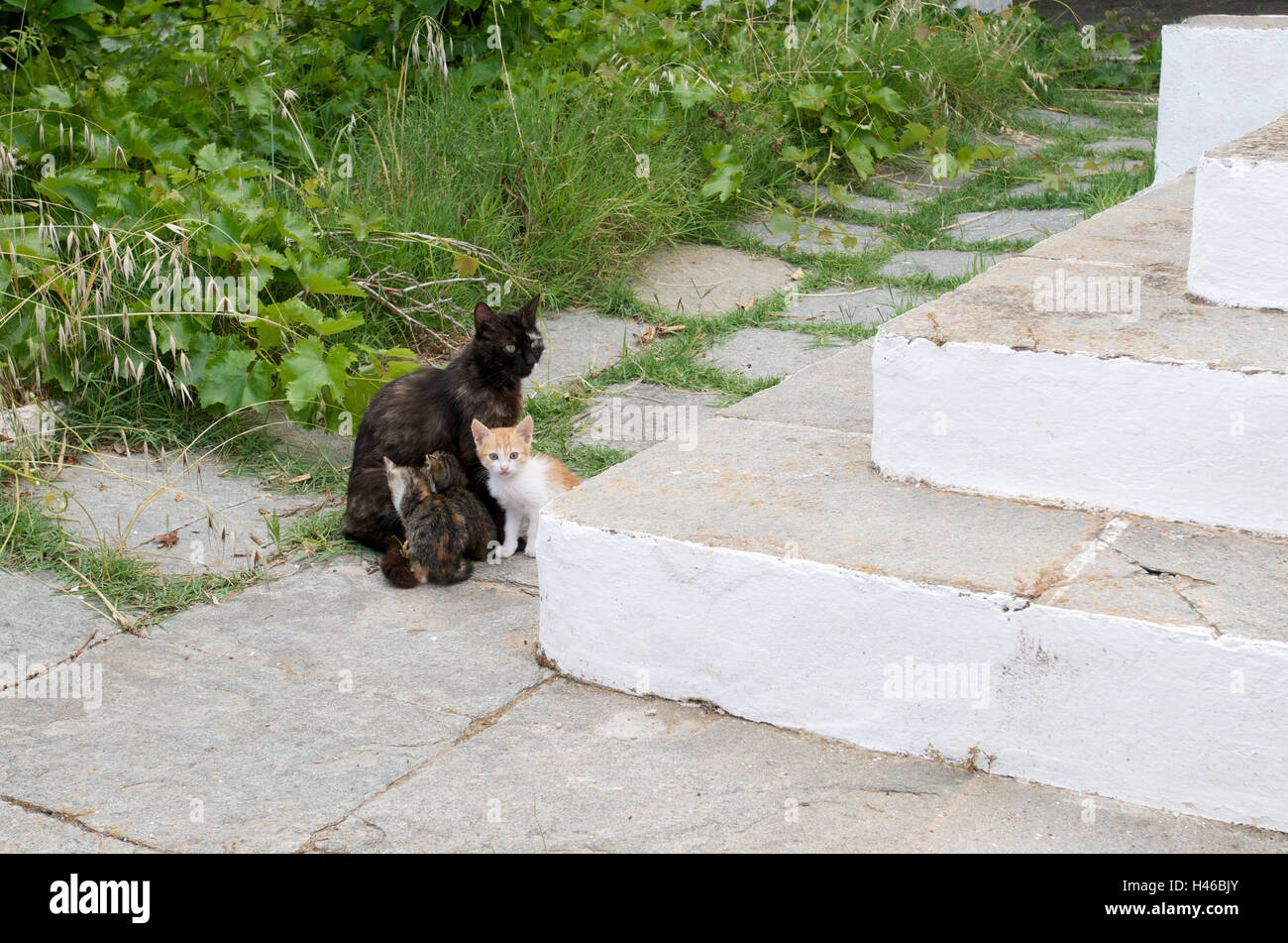 Cat family in front of stairs, island Sifnos, the Cyclades, Greece, - Stock Image