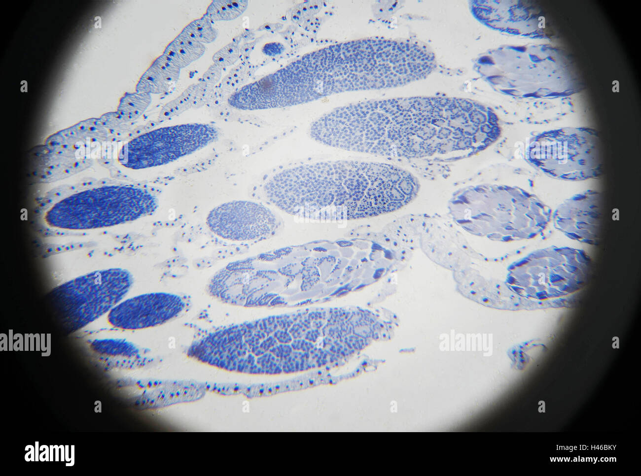 Grasshopper meiosis microscopic view - Stock Image