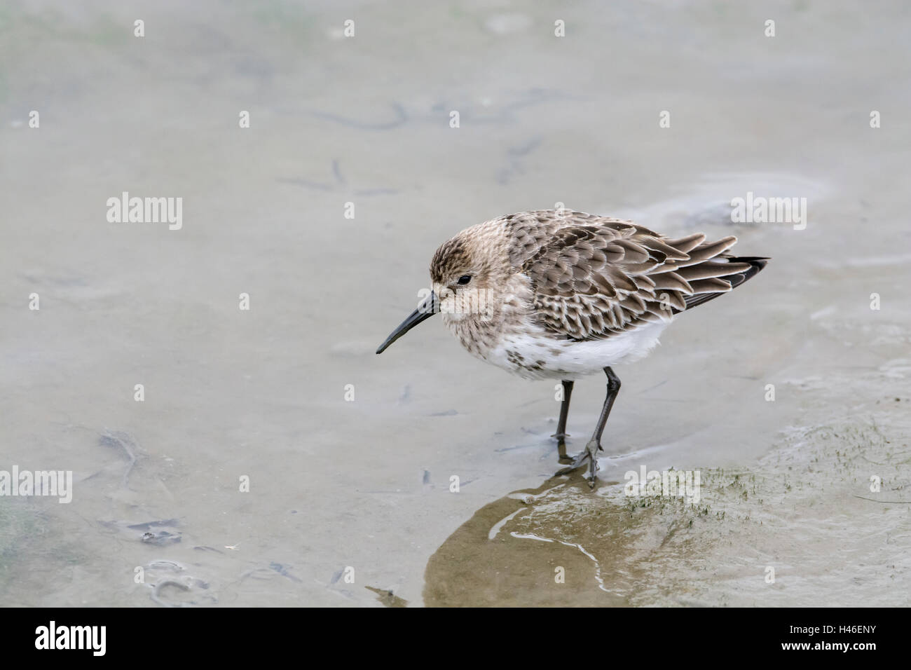 Dunlin (Calidris alpina). First-winter bird foraging on coastal mudflats. Known in North America as the red-backed Stock Photo