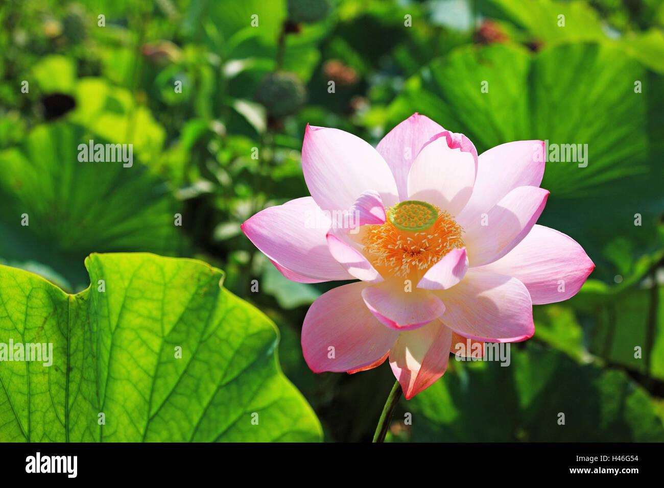 Lotus Flower Blossom Detail Flower Blossom Pink Delicate Pink