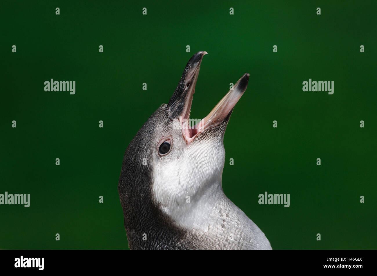 Glass penguin, Spheniscus demersus, portrait, shout, side view, Stock Photo