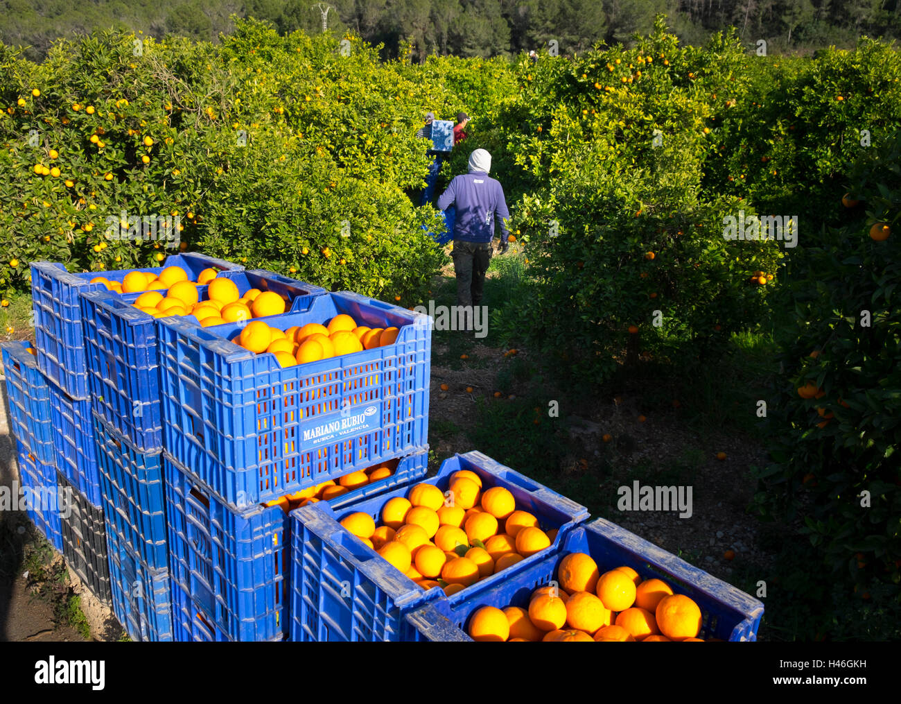 Oranges being harvested into plastic crates by workers in a Spanish orange grove Stock Photo