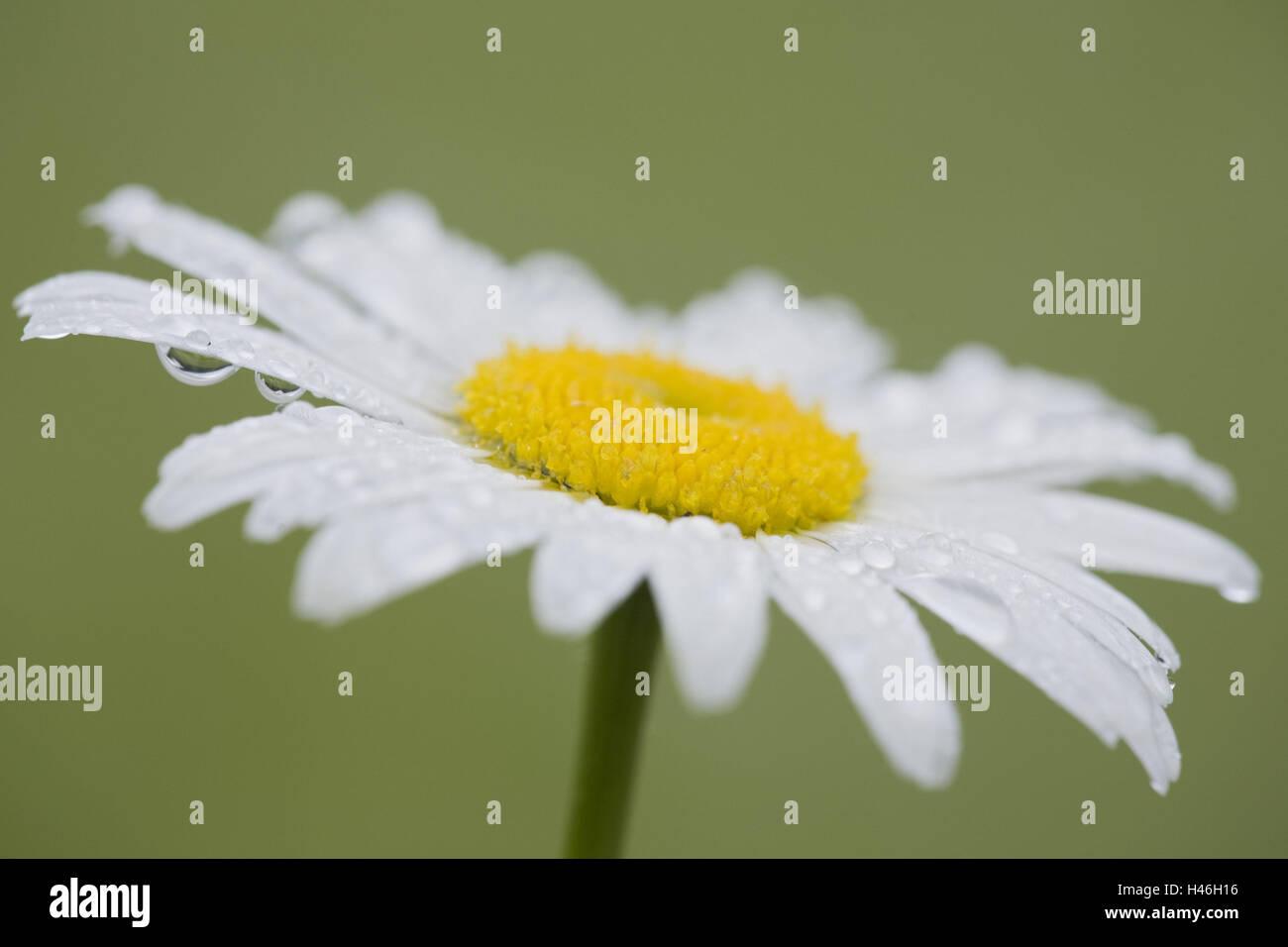 Marguerite, Leucanthemum vulgare, blossom, dewdrops, - Stock Image
